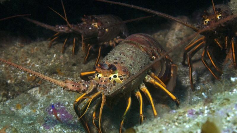 Spiny Lobster Season in San Diego, La Jolla Real Estate