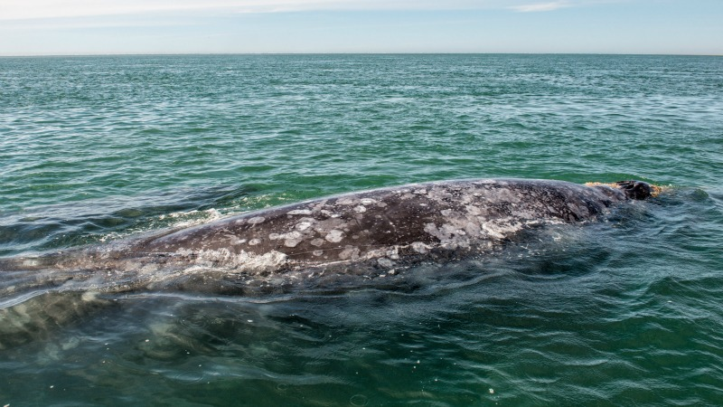 Grey Whale Migrating Off San Diego, Point Loma Homes for Sale